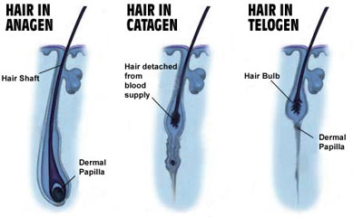 Hair Loss in Women, Hair Growth Cycles